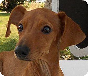 Dachshund/Miniature Pinscher Mix Puppy for adoption in Bellflower, California - Mowgli