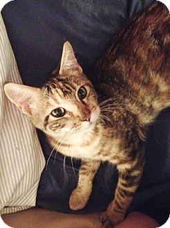 Domestic Shorthair Kitten for adoption in North Highlands, California - Praddah