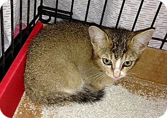 Abyssinian Kitten for adoption in Tampa, Florida - Squirrel