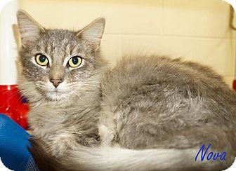 Domestic Mediumhair Cat for adoption in Lexington, North Carolina - NOVA