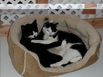 Domestic Shorthair Cat for adoption in Manchester, Connecticut - Holly and Rudy