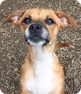 Terrier (Unknown Type, Small)/Chihuahua Mix Dog for adoption in Patterson, California - Evie