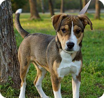 Hound (Unknown Type)/Retriever (Unknown Type) Mix Puppy for adoption in Westport, Connecticut - *Frankie - PENDING