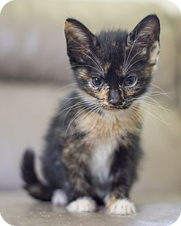 Domestic Shorthair Kitten for adoption in Houston, Texas - Kitten 1