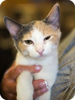 Calico Kitten for adoption in Charlotte, North Carolina - A..  Maddy