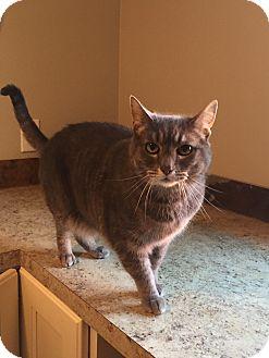 Domestic Shorthair Cat for adoption in Roslyn, Washington - Hemi