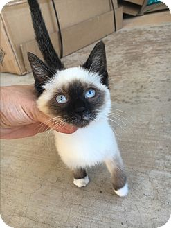 Siamese Kitten for adoption in Weatherford, Texas - *Theodore*