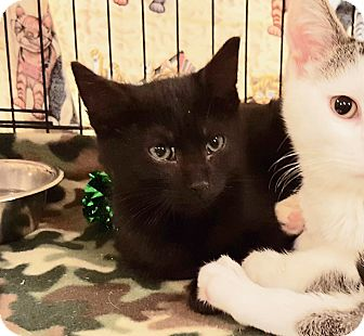 Domestic Shorthair Kitten for adoption in Colmar, Pennsylvania - Raven