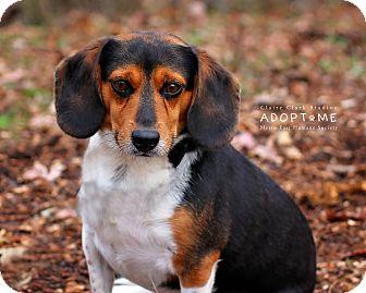 Beagle Mix Dog for adoption in Edwardsville, Illinois - Mr. Sausage