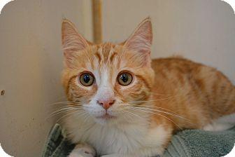 Domestic Mediumhair Kitten for adoption in Los Angeles, California - Satsuma