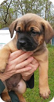 English Bulldog/Spaniel (Unknown Type) Mix Puppy for adoption in Florence, Kentucky - Lee