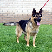 German Shepherd Dog Dog for adoption in Mira Loma, California - Blake