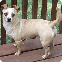 Adopt A Pet :: Blondie(11 lb) Fun Sweetie - SUSSEX, NJ