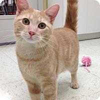 Adopt A Pet :: Honey Bear - LaGrange Park, IL