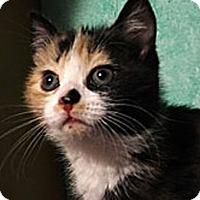 Adopt A Pet :: Sage - N. Billerica, MA
