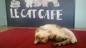 Calico Cat for adoption in Philadelphia, Pennsylvania - Tinsel