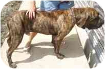 Fila Brasileiro Dog for adoption in Houston, Texas - Lucky