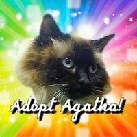 Himalayan/Domestic Shorthair Mix Cat for adoption in Spokane, Washington - Agatha