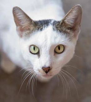 Domestic Shorthair/Domestic Shorthair Mix Cat for adoption in Lihue, Hawaii - Disey