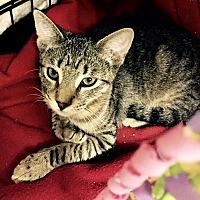 Adopt A Pet :: Mr. Belvedere - Island Park, NY