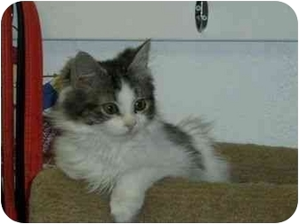 Domestic Longhair Cat for adoption in Sheboygan, Wisconsin - Muffin