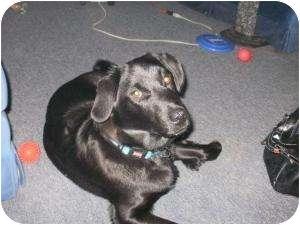 Labrador Retriever/Border Collie Mix Dog for adoption in London, Ontario - Rexington