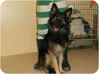 German Shepherd Dog Mix Dog for adoption in Yuba City, California - Unnamed