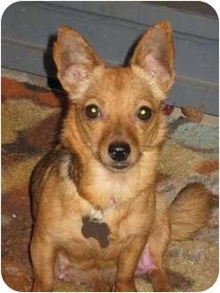 Pomeranian/Chihuahua Mix Dog for adoption in Salem, Oregon - Kayla