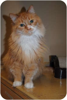 Domestic Longhair Cat for adoption in Worcester, Massachusetts - Cinderella