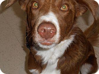 Blue Heeler Mix Dog for adoption in Lockhart, Texas - Dude