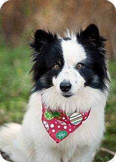 Border Collie Mix Puppy for adoption in Portsmouth, Rhode Island - Jean w/video!
