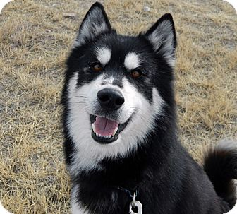 Alaskan Malamute Mix Dog for adoption in Cheyenne, Wyoming - Elwood
