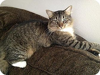 Domestic Mediumhair Cat for adoption in Miami, Florida - Puddy