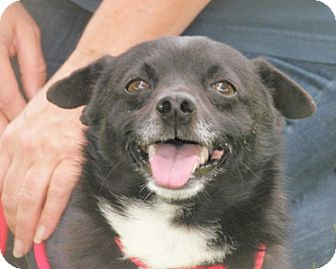 Terrier (Unknown Type, Small) Mix Dog for adoption in Turlock, California - Ike