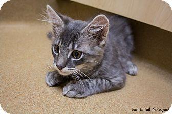Domestic Mediumhair Kitten for adoption in Mission Viejo, California - Kermit