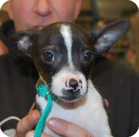 Chihuahua Mix Puppy for adoption in Brooklyn, New York - Lucy