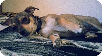Manchester Terrier/Rat Terrier Mix Dog for adoption in Santa Ana, California - Honey