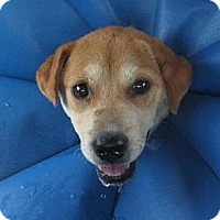 Adopt A Pet :: Brownie - Kingwood, TX