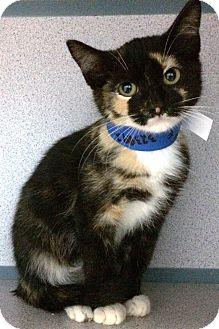 Calico Kitten for adoption in Fruit Heights, Utah - Glitter