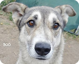 Shepherd (Unknown Type)/Husky Mix Dog for adoption in Lapeer, Michigan - BOO--AVAILABLE 10/31/14! SWEET