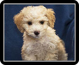 Poodle (Miniature)/Maltese Mix Puppy for adoption in Covina, California - Daniel