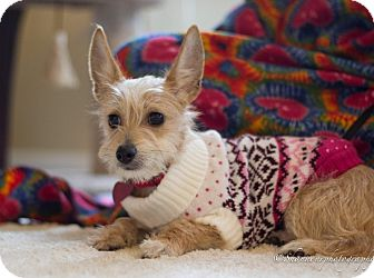 Yorkie, Yorkshire Terrier/Dachshund Mix Puppy for adoption in Vacaville, California - Annabelle