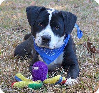 Staffordshire Bull Terrier/Beagle Mix Dog for adoption in Mocksville, North Carolina - Rolo