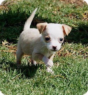 Chihuahua Mix Puppy for adoption in La Habra Heights, California - Chicklett