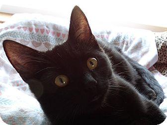 American Shorthair Cat for adoption in Valley City, North Dakota - Stormy