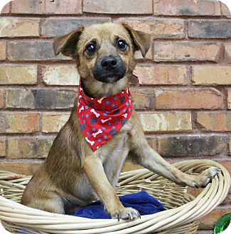 Terrier (Unknown Type, Small) Mix Dog for adoption in Benbrook, Texas - Jack