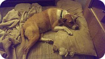 Beagle Mix Dog for adoption in Alvarado, Texas - Gyrl