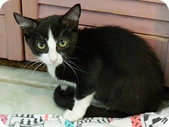 Domestic Shorthair Kitten for adoption in The Colony, Texas - Prissy LaButt