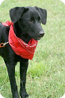 Labrador Retriever Mix Puppy for adoption in Columbia, Tennessee - Antebellum