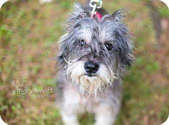 Schnauzer (Miniature) Mix Dog for adoption in Reisterstown, Maryland - Angus